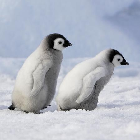 emperor-penguins-2-young-ones-walking-in-a-line