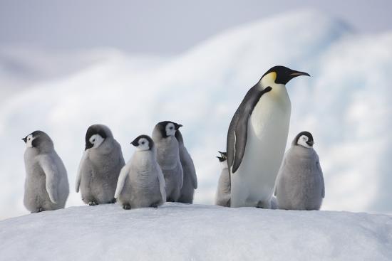 emperor-penguins-in-antarctica