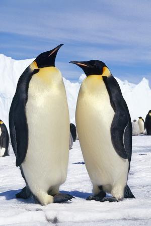 emperor-penguins-pair