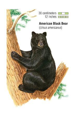encyclopaedia-britannica-american-black-bear-ursus-americanus-mammals