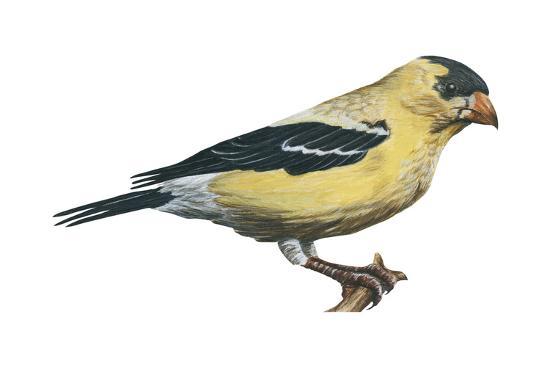 encyclopaedia-britannica-american-goldfinch-carduelis-tristis-birds
