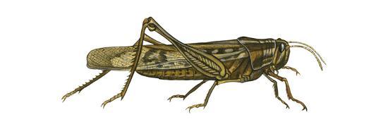 encyclopaedia-britannica-american-grasshopper-schistocerca-americana-insects