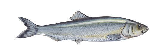 encyclopaedia-britannica-atlantic-herring-clupea-harengus-harengus-fishes