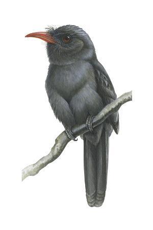 encyclopaedia-britannica-black-fronted-nun-bird-monasa-nigrifrons-birds