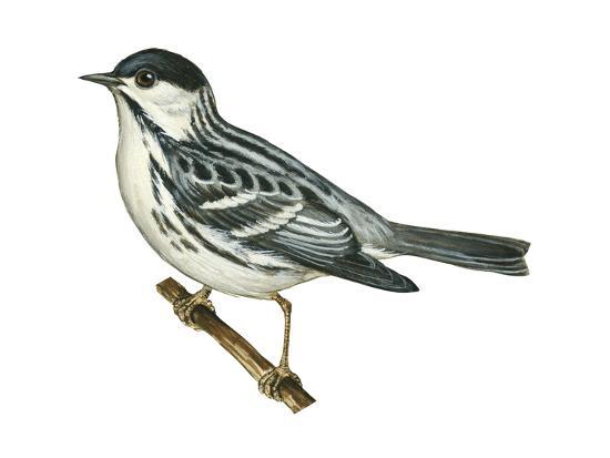 encyclopaedia-britannica-black-poll-warbler-dendroica-striata-birds