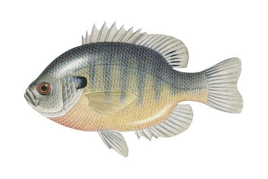 encyclopaedia-britannica-bluegill-lepomis-macrochirus-fishes