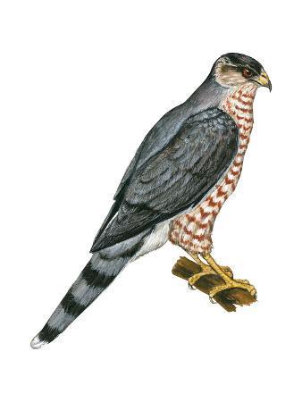encyclopaedia-britannica-cooper-s-hawk-accipiter-cooperi-chicken-hawk-birds