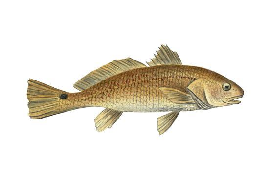 encyclopaedia-britannica-drum-scianops-ocellata-fishes