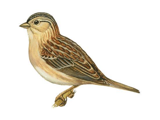 encyclopaedia-britannica-grasshopper-sparrow-ammodramus-savannarum-birds