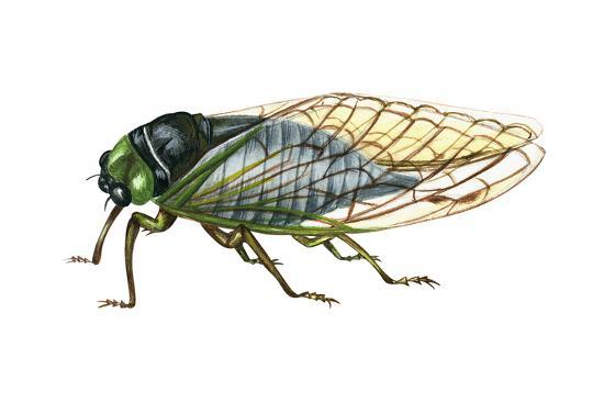 encyclopaedia-britannica-harvest-fly-tibicen-linnei-insects