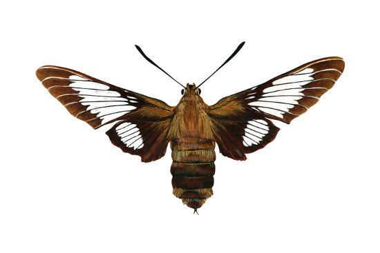 encyclopaedia-britannica-hummingbird-moth-hemaris-thysbe-insects