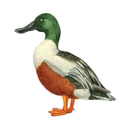 encyclopaedia-britannica-northern-shoveler-anas-clypeata-duck-birds