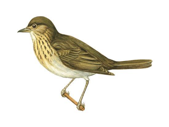 encyclopaedia-britannica-olive-backed-thrush-catharus-ustulatus-birds