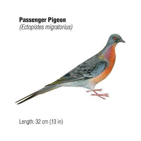 encyclopaedia-britannica-passenger-pigeon-ectopistes-migratorius-birds