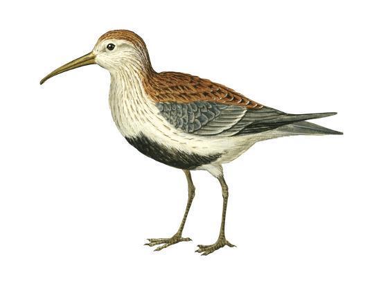 encyclopaedia-britannica-red-backed-sandpiper-calidris-alpina-pacifica-birds