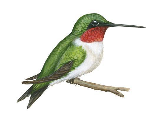 encyclopaedia-britannica-ruby-throated-hummingbird-archilochus-colubris-birds