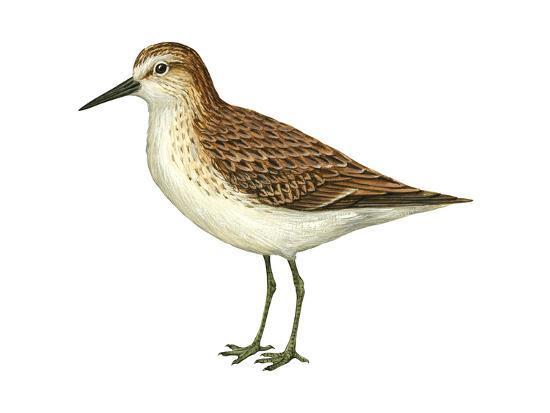 encyclopaedia-britannica-semipalmated-sandpiper-calidris-pusilla-birds