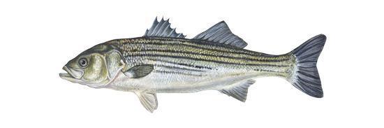 encyclopaedia-britannica-striped-bass-roccus-saxatilis-fishes