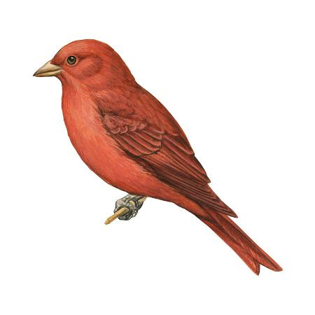 encyclopaedia-britannica-summer-tanager-piranga-rubra-birds