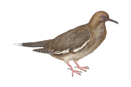 encyclopaedia-britannica-white-winged-dove-melopelia-asiatica-birds