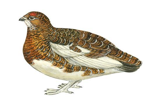 encyclopaedia-britannica-willow-ptarmigan-lagopus-lagopus-birds