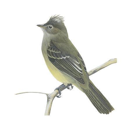 encyclopaedia-britannica-yellow-bellied-elaenia-elaenia-flavogaster-birds