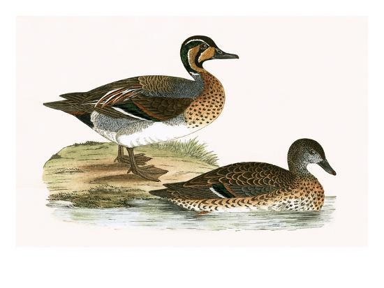 english-clucking-teal-from-a-history-of-the-birds-of-europe-not-observed-in-the-british-isles