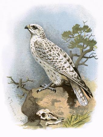 english-gyr-falcon