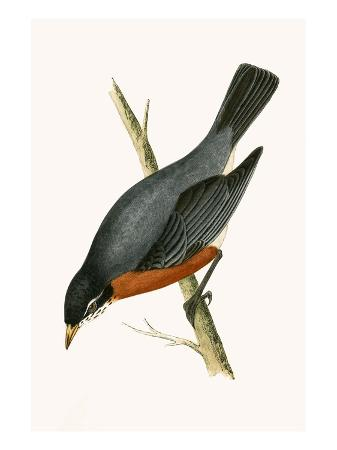 english-red-breasted-thrush-from-a-history-of-the-birds-of-europe-not-observed-in-the-british-isles
