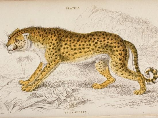 engraving-of-a-hunting-leopard-from-the-naturalist-s-library-mammalia