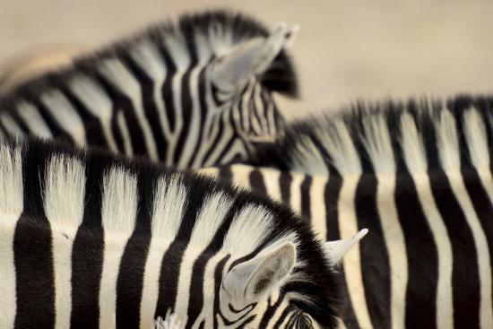 enrique-lopez-tapia-burchell-s-zebras-equus-quagga-burchellii-close-ups-of-the-manes-etosha-np-namibia