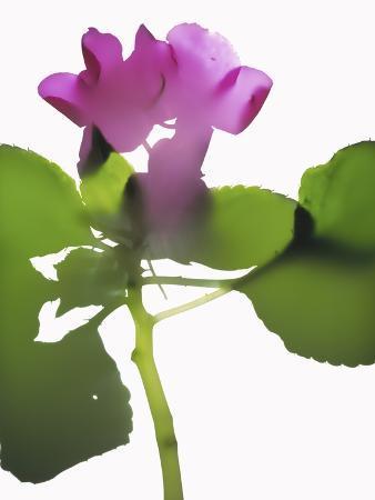 envision-purple-impatiens