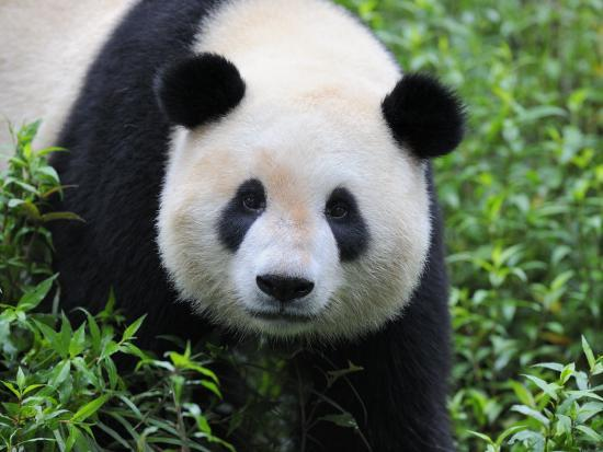eric-baccega-giant-panda-bifengxia-giant-panda-breeding-and-conservation-center-china