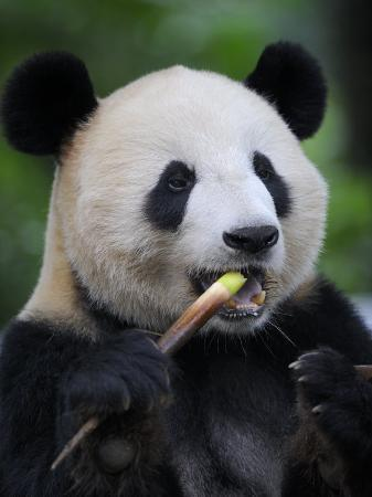 eric-baccega-giant-panda-feeding-on-bamboo-at-bifengxia-giant-panda-breeding-and-conservation-center-china