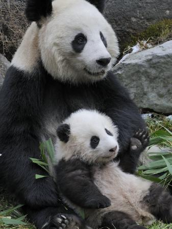 eric-baccega-giant-panda-mother-and-baby-wolong-nature-reserve-china
