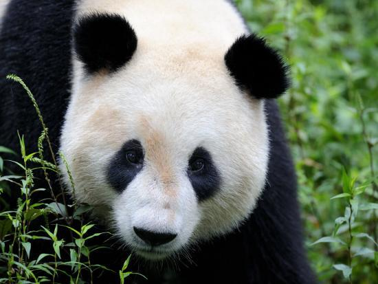 eric-baccega-head-portrait-of-a-giant-panda-bifengxia-giant-panda-breeding-and-conservation-center-china