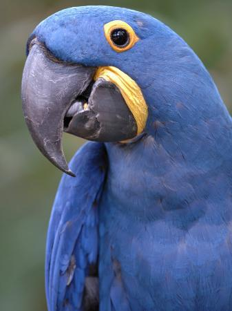 eric-baccega-hyacinth-macaw-iucn-red-list-of-endangered-species