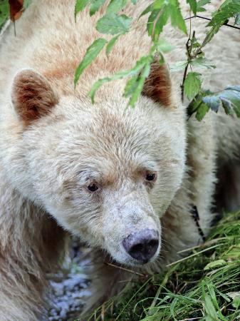 eric-baccega-kermode-spirit-bear-white-morph-of-black-bear-princess-royal-island-british-columbia-canada