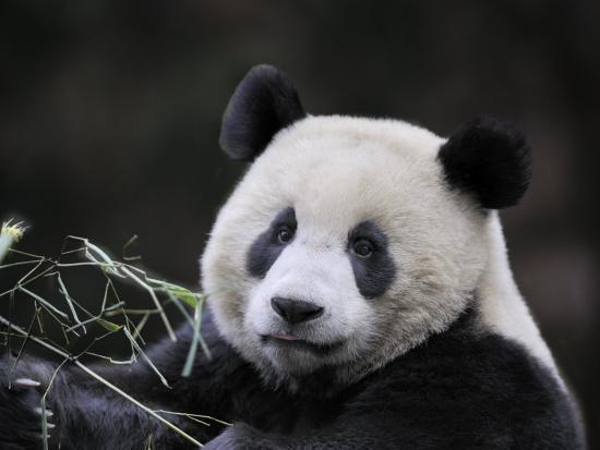eric-baccega-male-giant-panda-wolong-nature-reserve-china