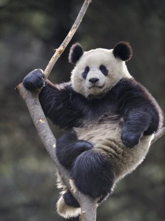 eric-baccega-subadult-giant-panda-climbing-in-a-tree-wolong-nature-reserve-china