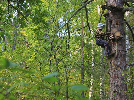 eric-tourneret-a-beekeeper-removing-the-protective-trellis-of-leaves-and-wire-netting-high-up-on-a-tree-trunk
