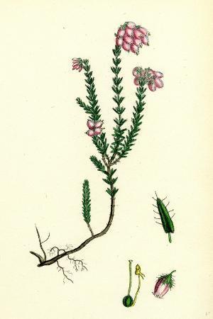 erica-eu-tetralix-cross-leaved-heath