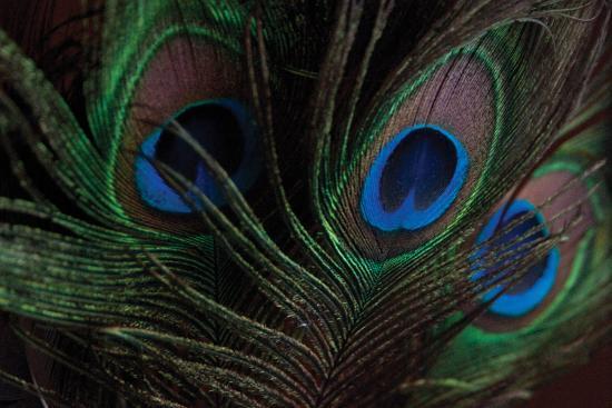 erin-berzel-peacock-feathers-1