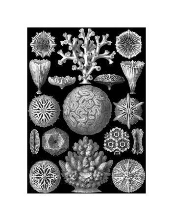 ernst-haeckel-microscopic-hexacoralla