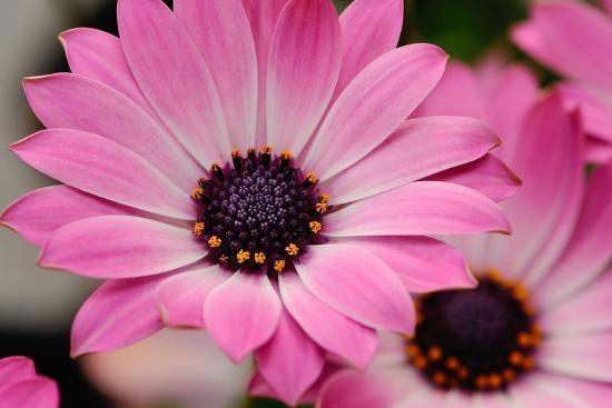 erpeewee-closeup-of-a-spanish-daisy
