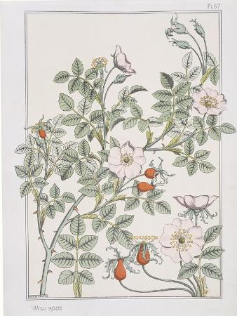 eugene-grasset-botanical-diagram-of-wild-rose