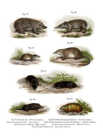 euroean-hedgehog-1860