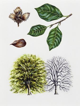 european-beech-or-common-beech-fagus-sylvatica
