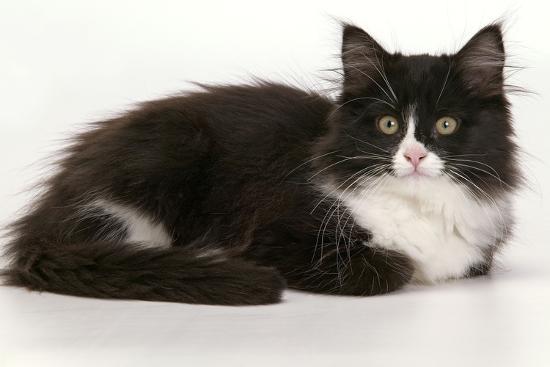 european-cat-black-and-white