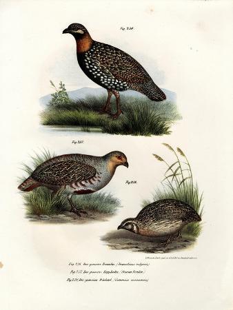 european-francolin-1864